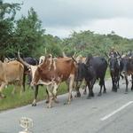 """Zébus -- Zébus malgaches en direction du marché sur la route """"N7""""."""