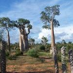 """Voyage de février 2007  -- <div></div><p>Bien moins célèbre que l'Allée des <a href=""""http://fr.wikipedia.org/wiki/Baobab_africain"""">Baobabs</a> la région de Morondava:<br />la forêt de Baobabs d'Ifaty.<br />Pour les personnes qui seraient surprises par le terme de forêt,<br />il faut savoir qu'il est pratiquement impossible de trouver plus dense pour des Baobabs.</p>"""