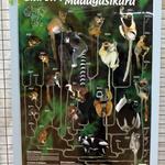 Les lémuriens -- Du plus grand, le lémur Maki Catta, au plus petit, le microcèbe (Microcebus murinus).