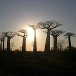 Coucher de Soleil -- Forêt de Baobab pendant le couché de soleil sur la piste de Morondava (RN)