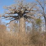 Baobab -- 9 variétés de Baobab dans le monde dont 8 endémiques à Madagascar. Un Grand classique sur la piste de Morondava.