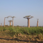 La forêt -- Les baobabs poussent loin les uns des autres...