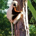 SOS Madagascar 2014 11 5558 -- Sifaka