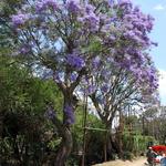 SOS Madagascar 2014 11 1827 -- <p> Jacaranda</p>