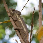 """SOS Madagascar 2014 11 1674 -- L'ami Léon (du genre Furcifer) des """"Chambres du Voyageur"""""""
