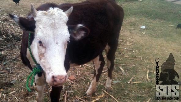 Vache inséminée en 2013