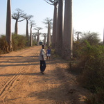 Platanes -- Non ! Pas des platanes des Baobabs...