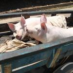 SOS Madagascar 2014 11 1822 -- <p> Trans... porcs</p>